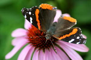 Red-Admiral-Butterfly-on-Purple-Coneflower.jpg