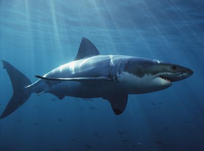 great-white-shark-1.jpg