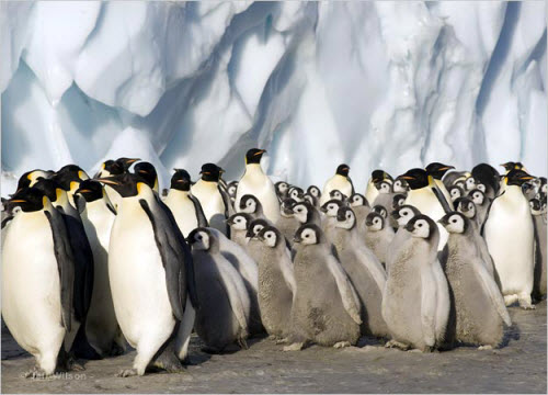 Frozen Planet Penguins.jpg